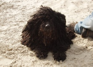 Puli Fitzko am Strand